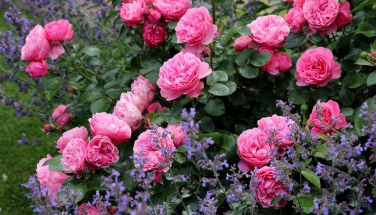 Dārza karalienes rozes: kādi ir tām draudzīgie un nevēlamie kaimiņi