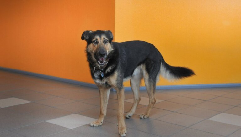 Pazudis LU SZF mīlulis un sargs: lūdz palīdzību suņa Rondo meklēšanā