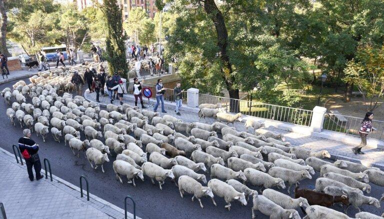 Foto: Kā tūkstotis merino aitiņu šķērsoja Madridi