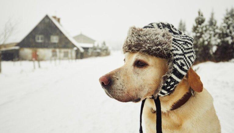 Ziemassvētku rotājumi, antifrīzs un citi apdraudējumi suņa dzīvībai ziemā