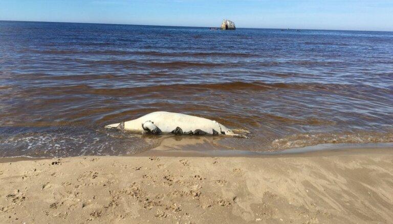 Foto: Vecāķu pludmalē izskalots beigts ronis, DAP aicina par to ziņot