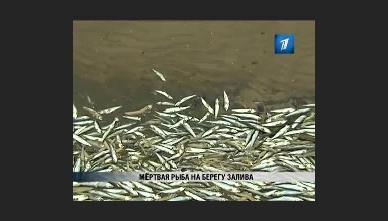 Выброшено несколько тонн мертвой салаки