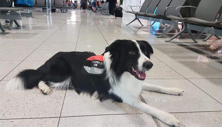 Krakovas lidostā satrauktākos ceļotājus nomierina borderkollijs Zeneks