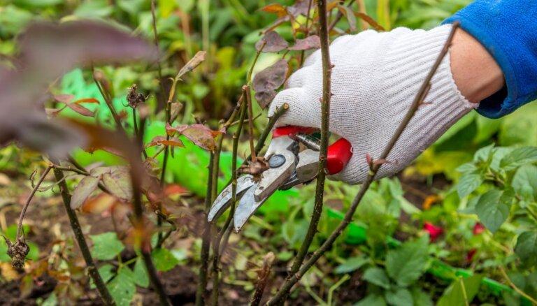 Kas darāms rožu dārzā rudenī