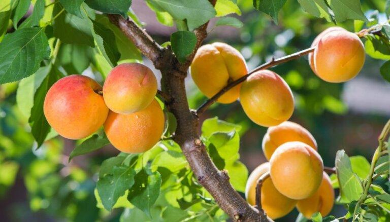 Aprikožu un persiku apstādījumi pašu dārzā – šķirnes un to audzēšana