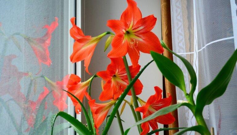 Atpūta pirms spilgtās ziedēšanas – kā kopt hipeastru miera periodā