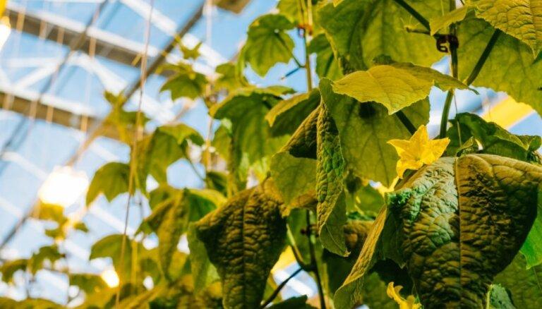 Foto: Kā aug pavasara vēstneši – Mārupes gurķi un tomāti