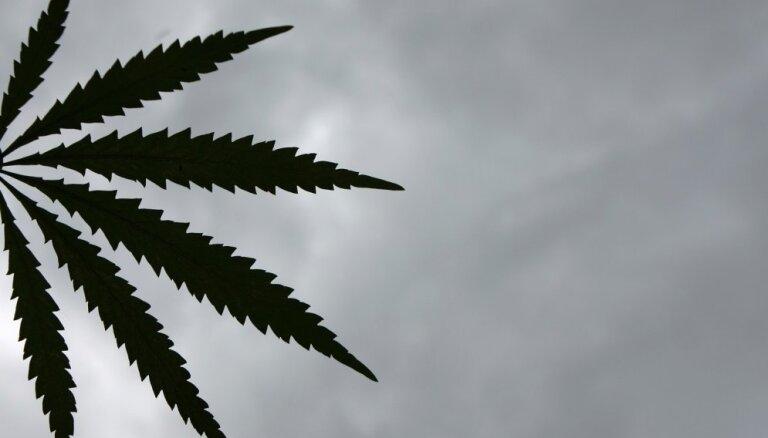 Latvijā kaņepju audzēšanas apjomi trīskāršojušies, Eiropā – strauji aug