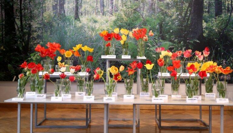 Foto: 400 tulpju šķirnes Latvijas Dabas muzejā