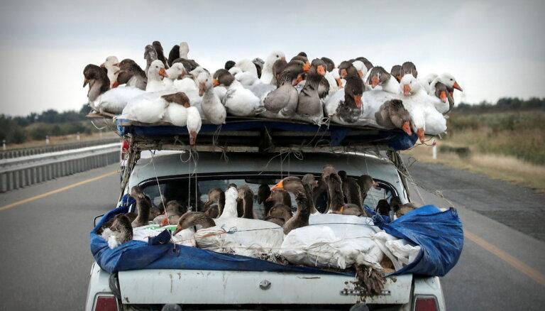 Nursultanā putnu gripas dēļ trūkstot gaļa un olas