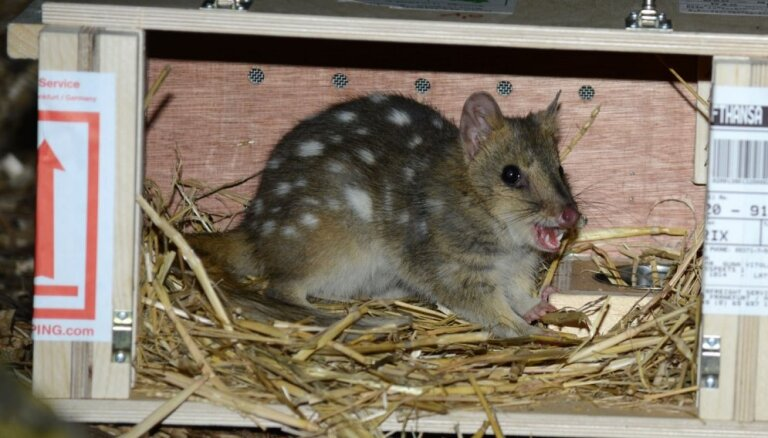 Rīgas zoodārzs Dzīvnieku ģimeņu dienās aicina vērot jaunās caunas