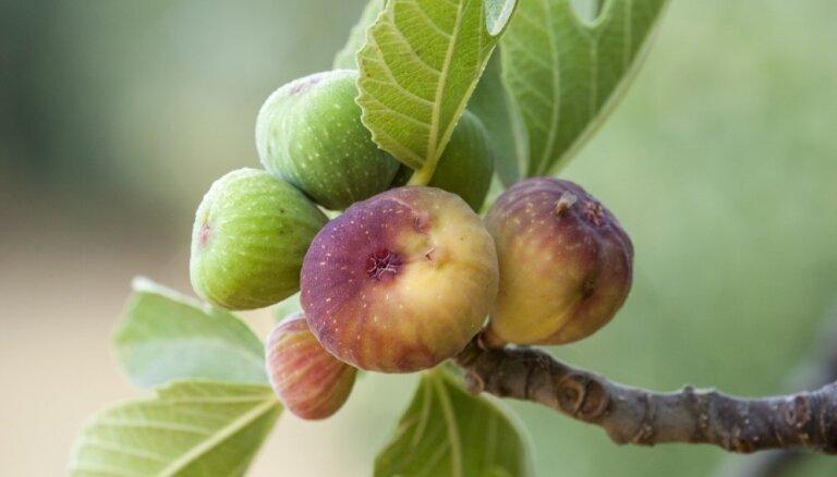 Saldie augļi, kas ienākas divreiz gadā – eksotiskās vīģes