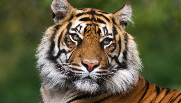 Тиграм предрекли исчезновение в ближайшие десять лет
