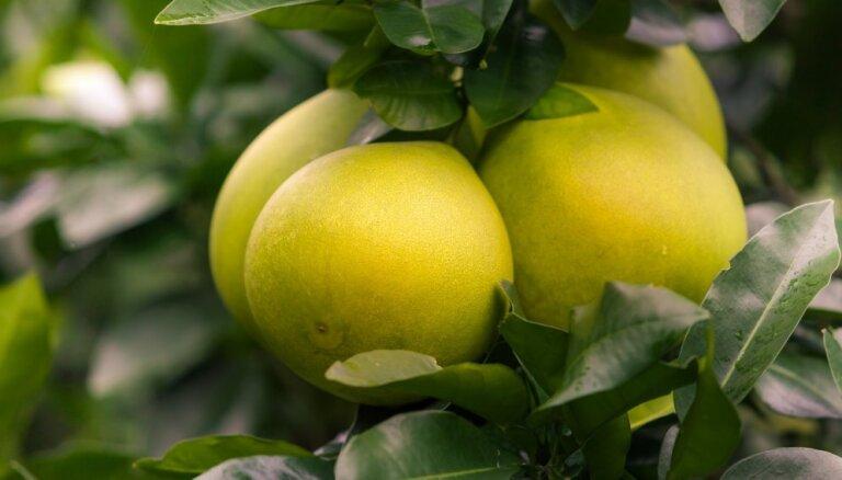 Pomelo – lielākais no citrusaugļiem un gandrīz 'mājas aptieciņa' kokā