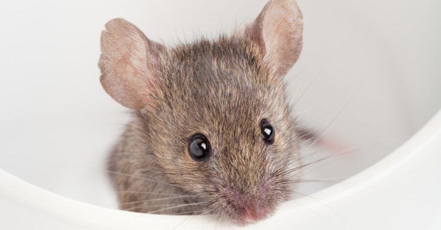 Заснятая на видео мышь на полке