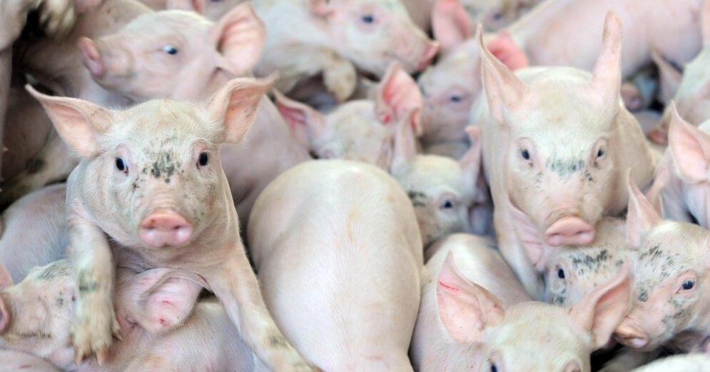 Бодрый секс со свиней