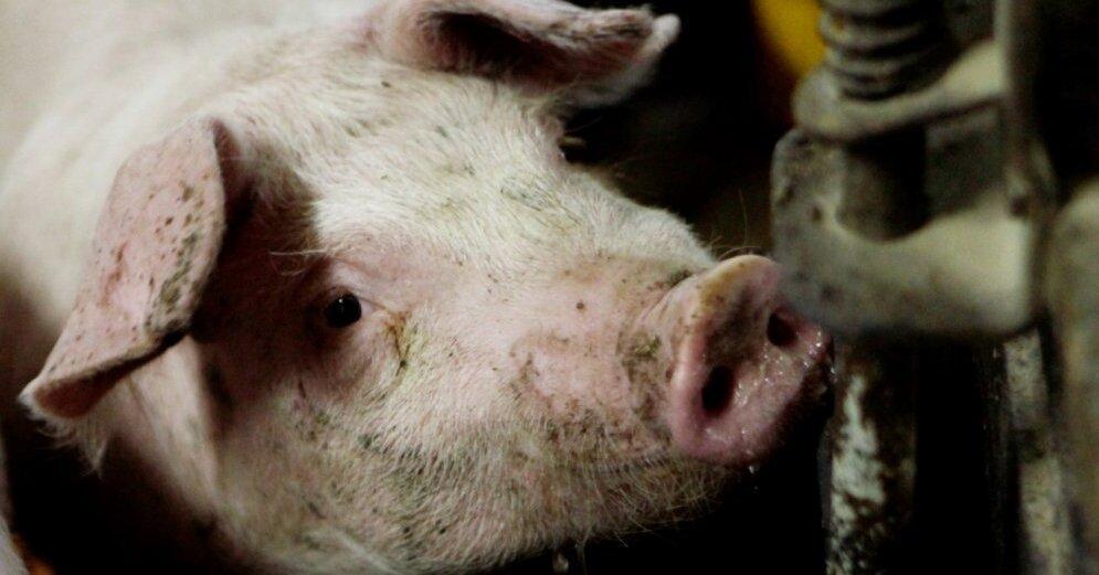 HKScan Latvia: к осени значительно поднимутся цены на свинину и курятину