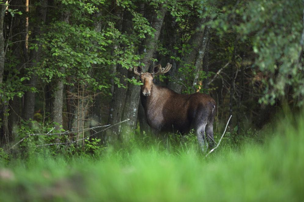 Skaistākie meža zvēri Latvijā - kas viņi ir?