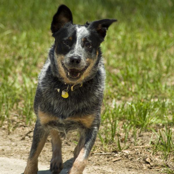 Austrālijas ganu suns