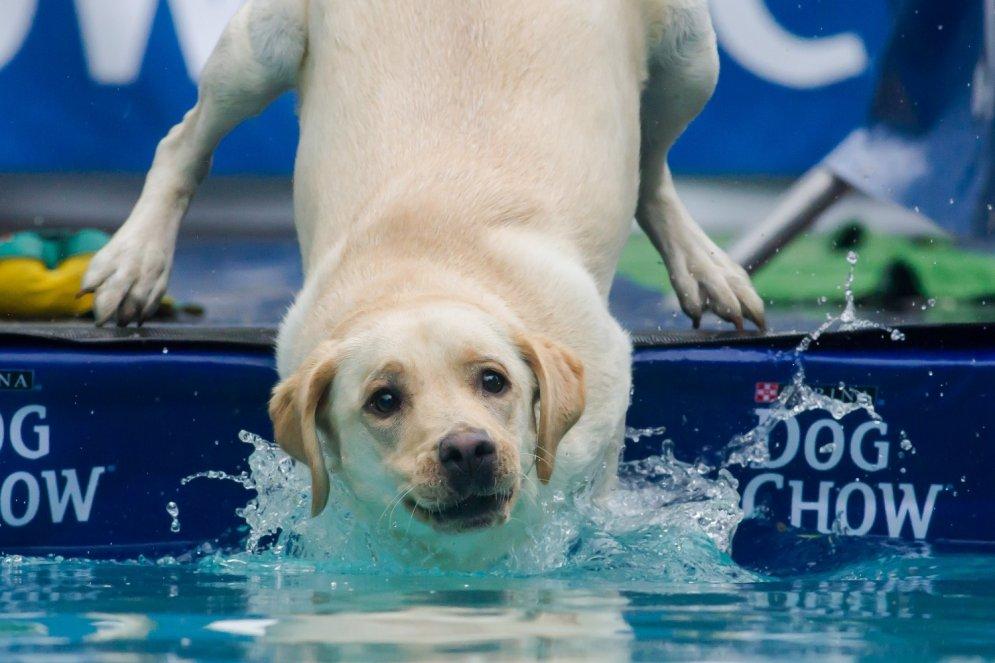 Notikušas pasaulē pirmās suņu daiļlēkšanas sacensības