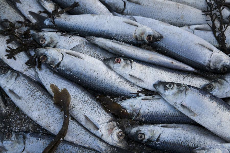 Pērkot zivis, turpmāk noderēs latīņu valoda - īsais mācību kurss