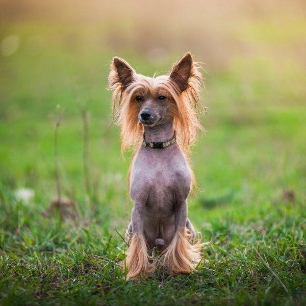 Ķīnas cekulainais suns