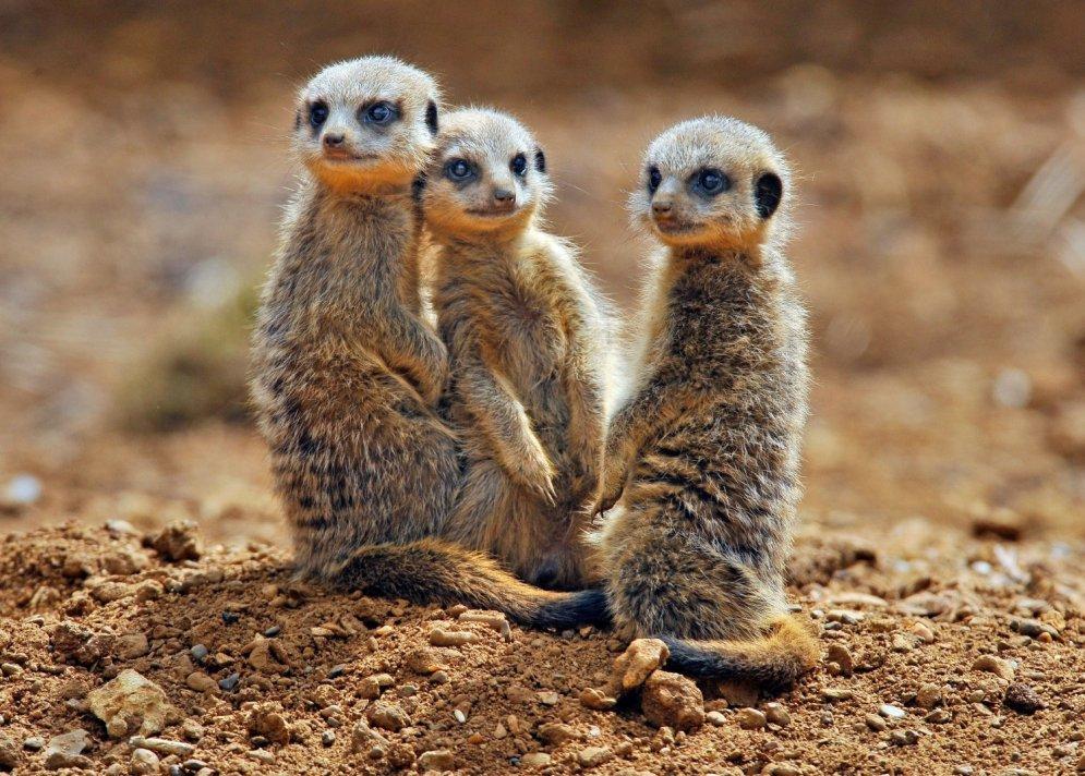Negaidīts pārsteigums: grūtnieces vēderā atrod 'surikatu'
