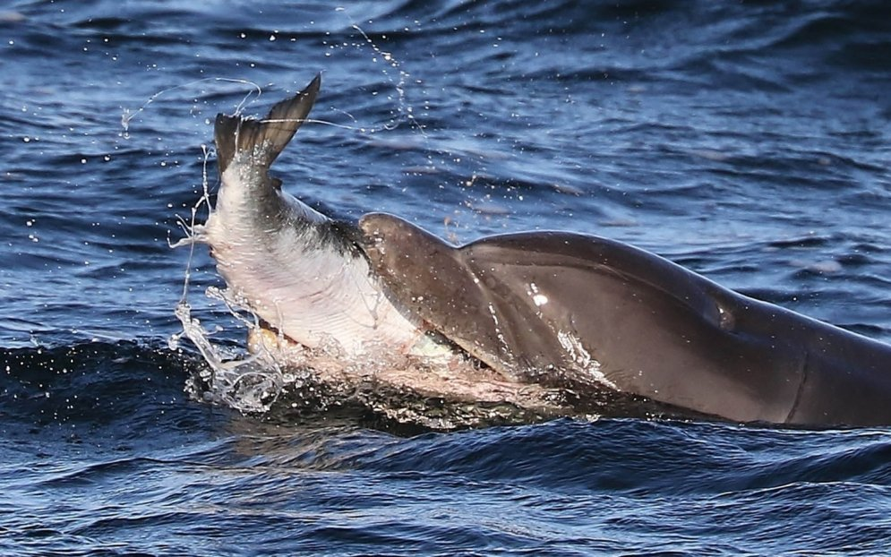 Briesmoņi, kas dzīvo jūrā: izbadējies delfīns aprij lasi