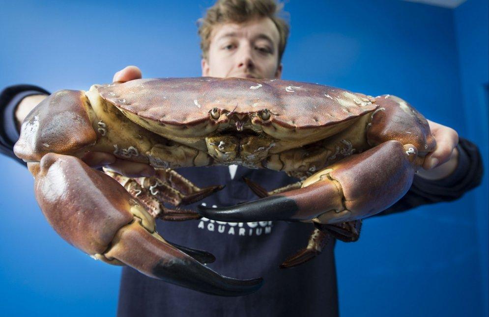 Pie Anglijas krastiem noķerts gigantiska izmēra krabis