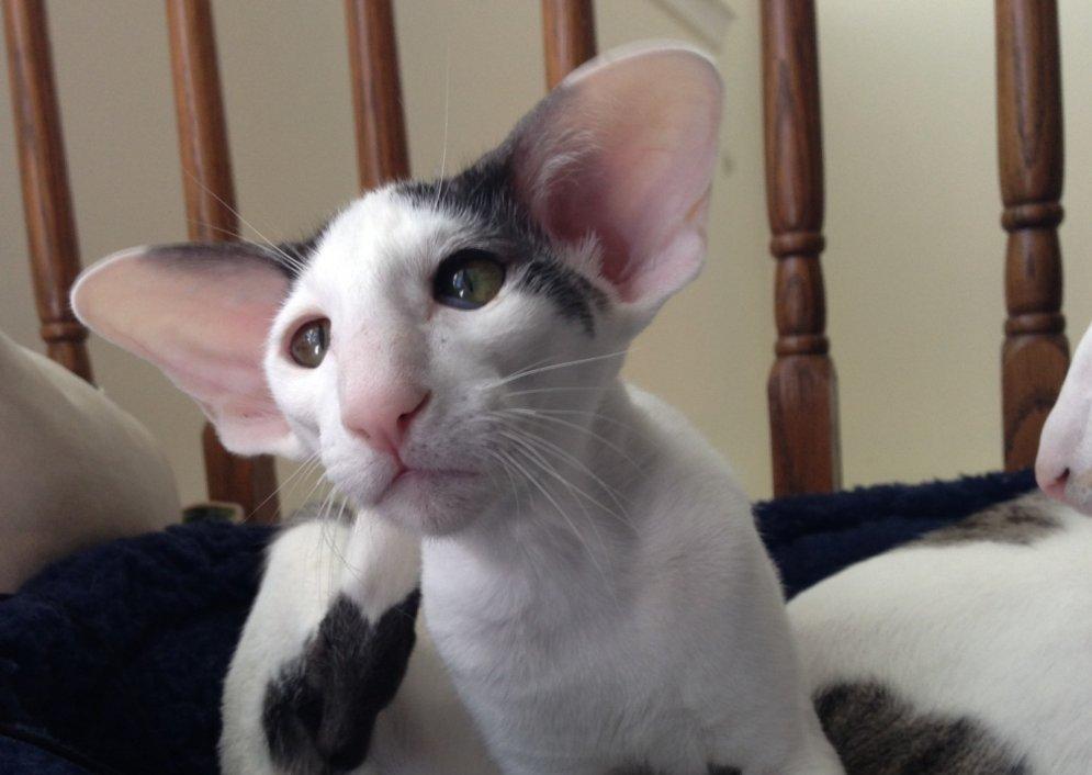Kaķis, kurš izskatās pēc elfa no 'Harija Potera' filmām