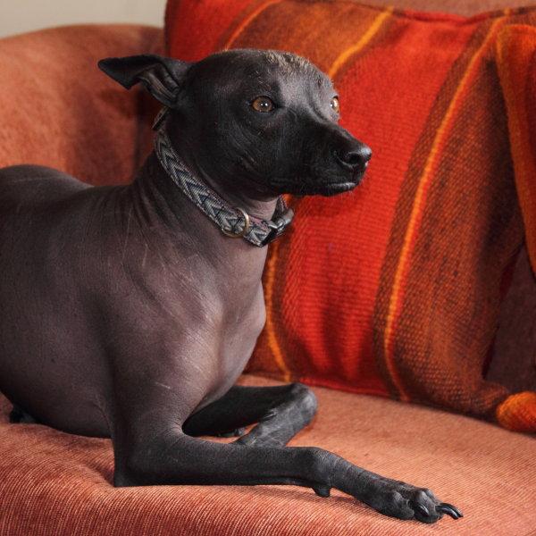 Peruāņu kailais suns