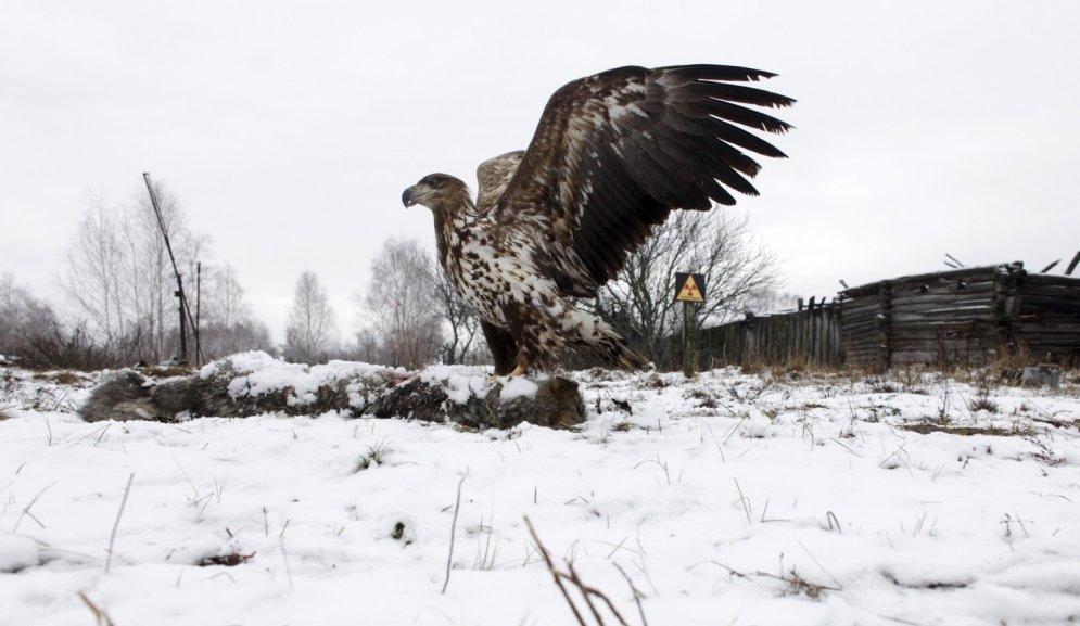 Zvēriņi ar 4 kājām un 2 spārniem Černobiļas katastrofas skartajās teritorijās