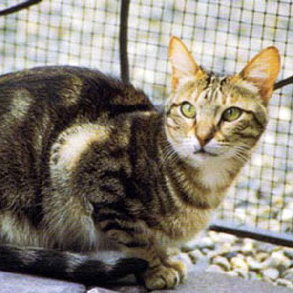 Sokokes kaķis