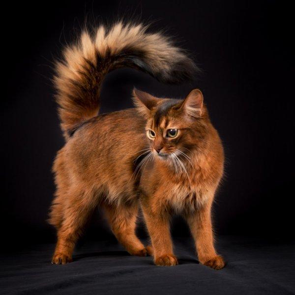 Somālijas kaķis