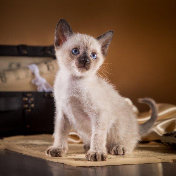 Tonkinas kaķis
