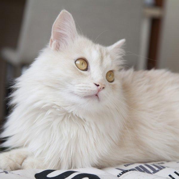 Turcijas Angoras kaķis